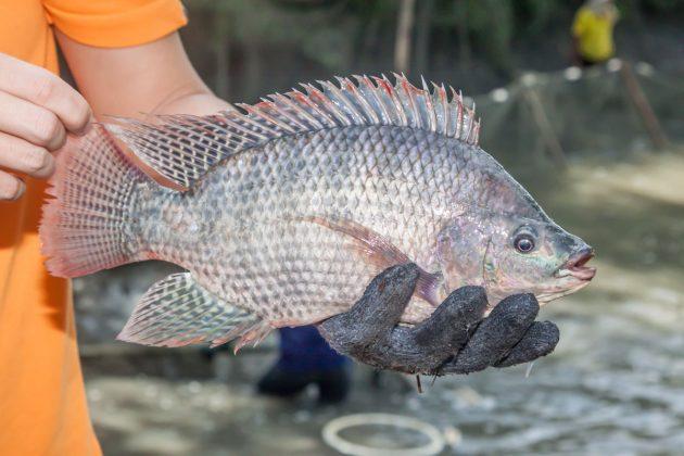 Paraná é líder na produção de tilápia no Brasil