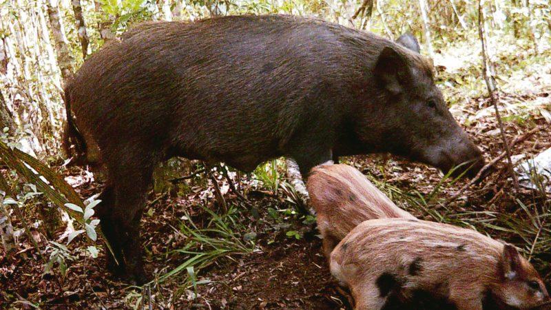 Praga na lavoura, o Javali está na lista das 100 piores espécies invasoras